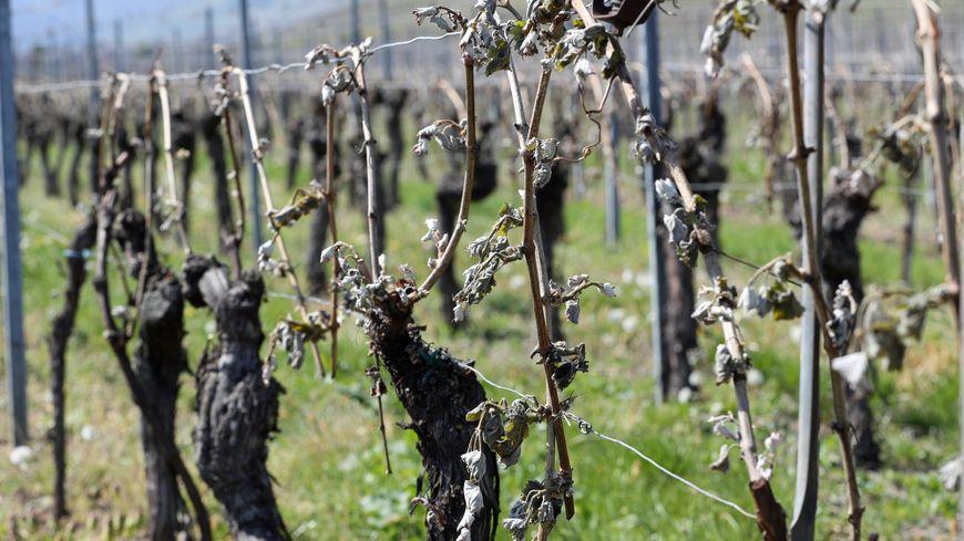 Gelée noire sur les vignes d'Indre-et-Loire