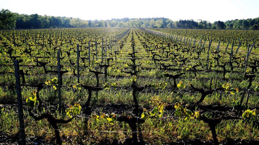 Vignes gelées près de Cadaujac