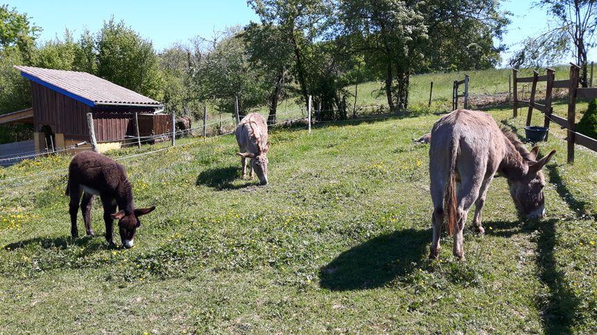 Les ânes d'Angèle Bazin à Castelnau Tursan