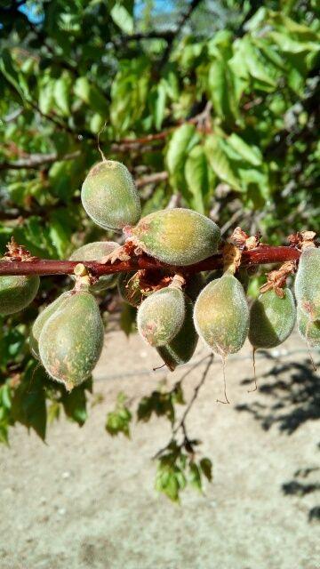 Un coup de froid au mauvais moment, et voila les abricots gelés. il n'y aura pas de production cette année.