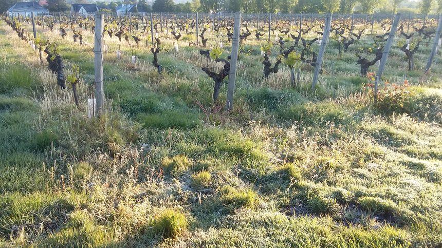 Les vignes d'Amboise à 7h ce matin