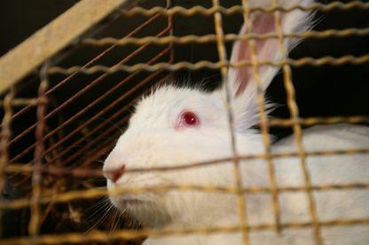 La parlement européen veut interdire l'élevage de lapin en cage