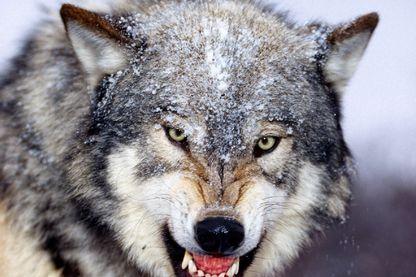 Loup menaçant le photographe.