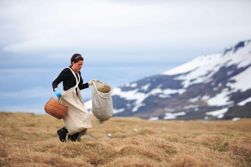 Récolte de duvet en Islande