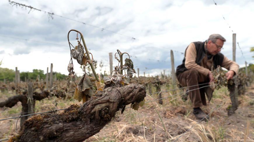 Les viticulteurs de Gironde cherchent des solutions 8 jours après le dernier épisode de gel.