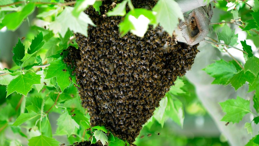 Un essaim d'abeilles - illustration