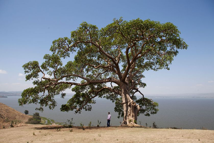 Un grand figuier en Ethiopie