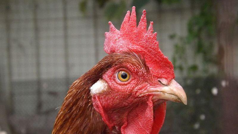 La poule devient un animal de compagnie... et de recyclage des déchets verts