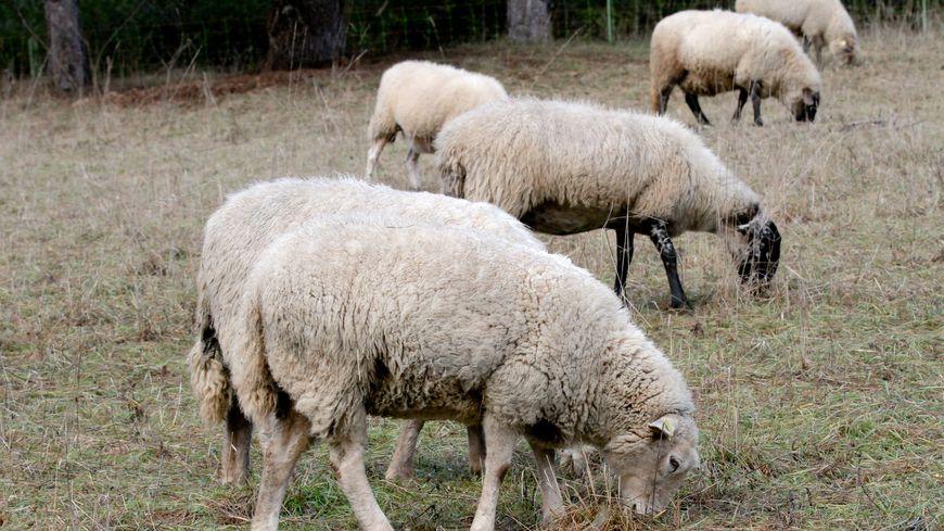Les moutons sont très souvent utilisés pour faire de l'écopaturage