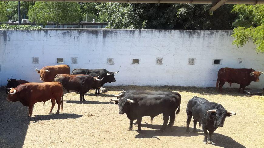 Une soixantaine de bêtes est répartie dans une dizaine de torils