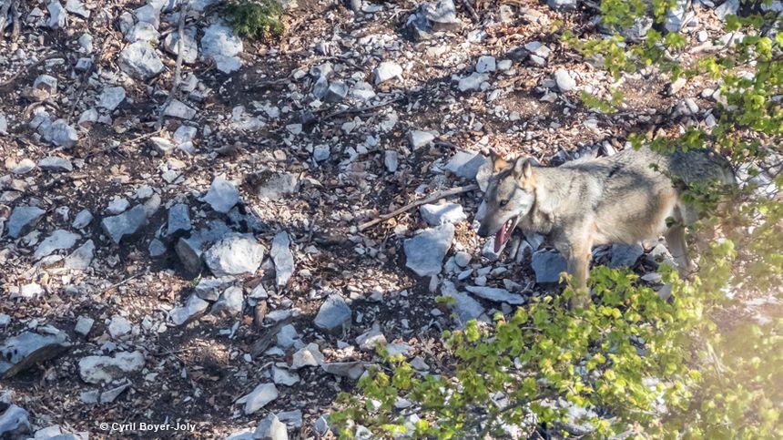 Cyril Boyer-Joly a croisé pour la première fois le loup sur le Ventoux en pleine chasse au mouflon