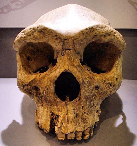 """Broken Hill Skull"" from Kabwe, Zambia (replica, Museum Mauer, near Heidelberg, Germany). Type specimen of Homo rhodesiensis, renamed as Homo erectus, also sometimes named Homo heidelbergensis or ""archaic Homo sapiens""."