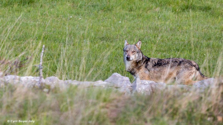 Cyril Boyer-Joly a croisé le loup à la lisière de la forêt du Ventoux