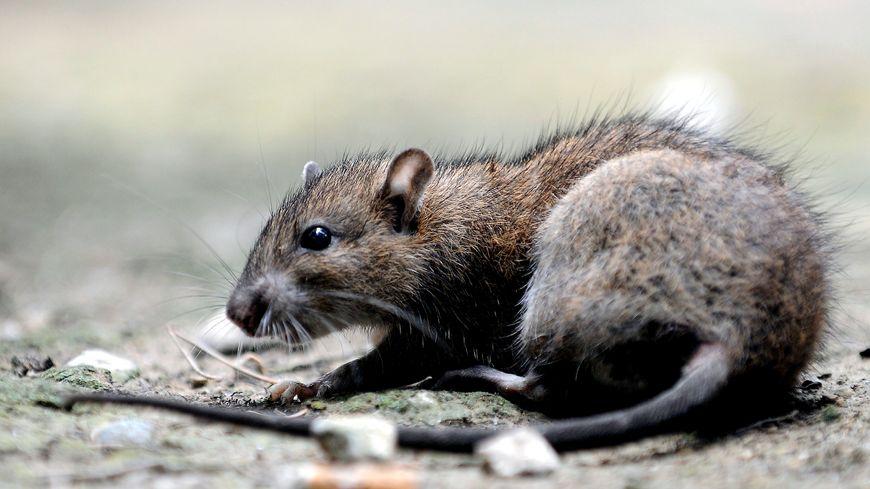 Les rats viennent des bords de Loire