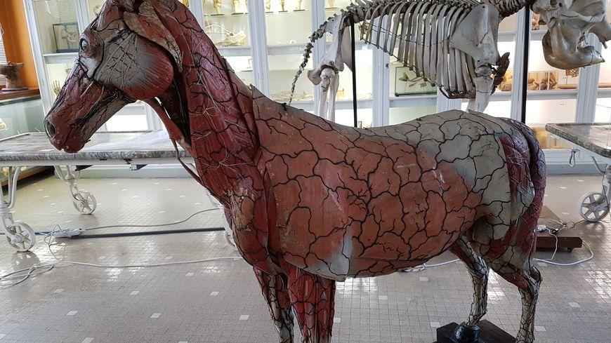 Le cheval, qui mesure 1m50 au garrot, a été créé en 1851 par le Docteur Louis Auzoux