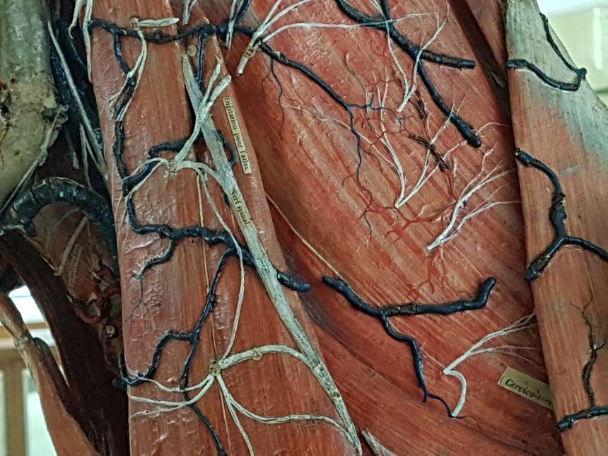 Les vaisseaux sanguins (en bleu foncé) et les nerfs (en blanc) ont été reproduit avec des fils de fer tressés.