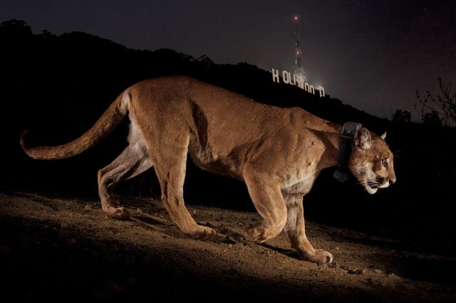 Cougar avec un collier radioémetteur dans Griffith Park Los Angeles Etats-Unis