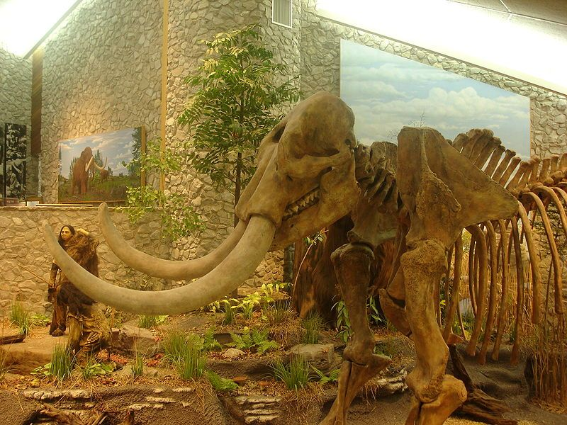 A mastadon skeleton on display in the museum at the Mastadon States Historical Site in Missouri
