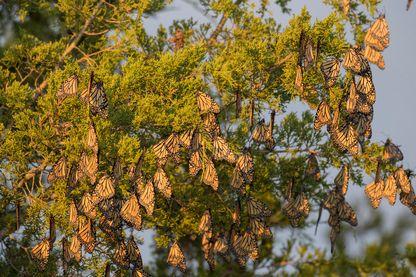 Papillons Monarques dans le Prairie Ridge State Natural Area dans l'Illinois.