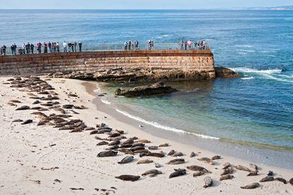 Children's Pool Beach envahie par les phoques