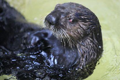 Pour son expérience, comme une loutre, Charles Foster a nagé dans des rivières du Devon