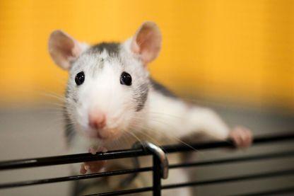 Qu'est-ce qui permet de déterminer si une espèce comme le rat peut avoir un orgasme ?