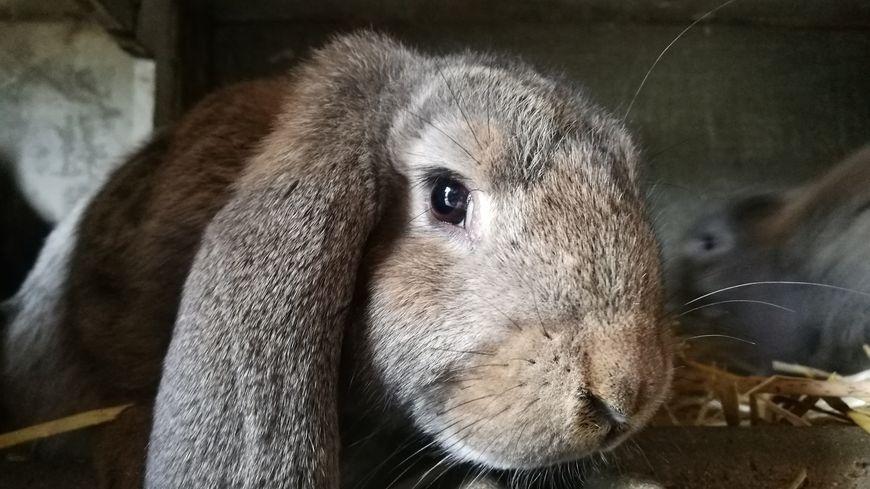 Un lapin bélier