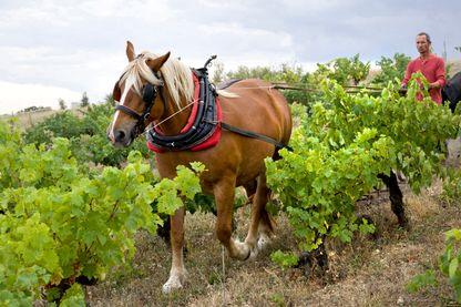 Plus vertes mes vignes avec le cheval