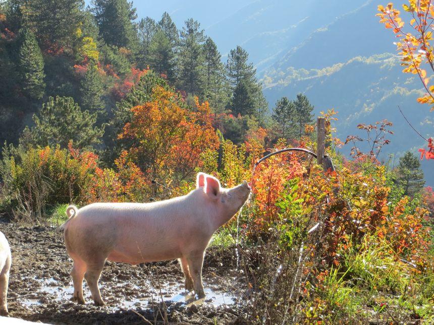 Libres, bio, les cochons de la ferme Lavancia sont irrésistibles -
