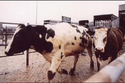 Photo prise le 21 mars 96 de bétail arrivant au marché de Gloucester le jour même où le gouvernement britannique annonçait qu'il prévoyait de faire abattre 11 millions de têtes en raison de la crise de la vache folle.