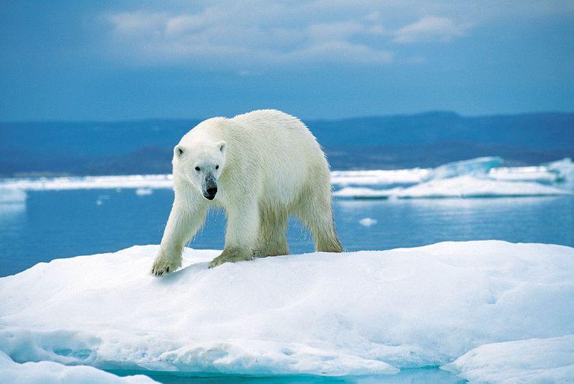 Comment l'ours polaire a conquis la banquise