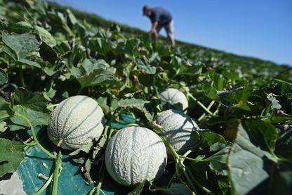 Champ de melons près d'Arles