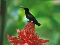 Rose de porcelaine (Nicolaia elatior) et colibri sur l'île de la Martinique aux Antilles françaises.
