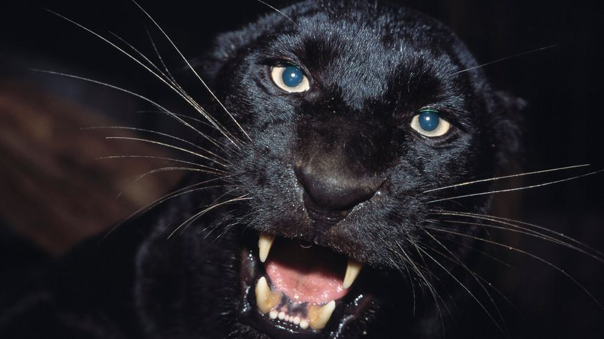 Panthère noire