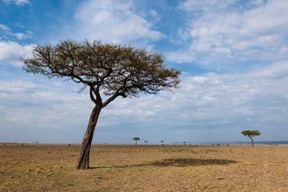 Les acacias du désert