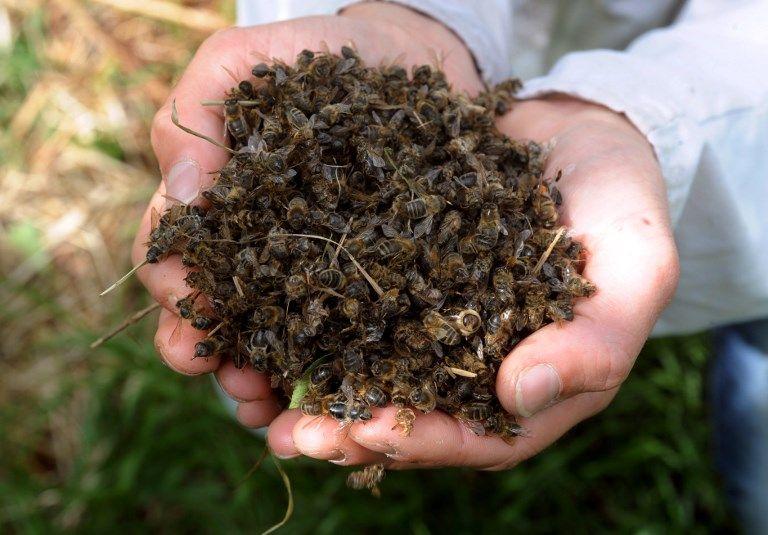 Des dizaines d'abeilles mortes à proximité de ruches à Campbon en Loire Atlantique, déjà en 2009
