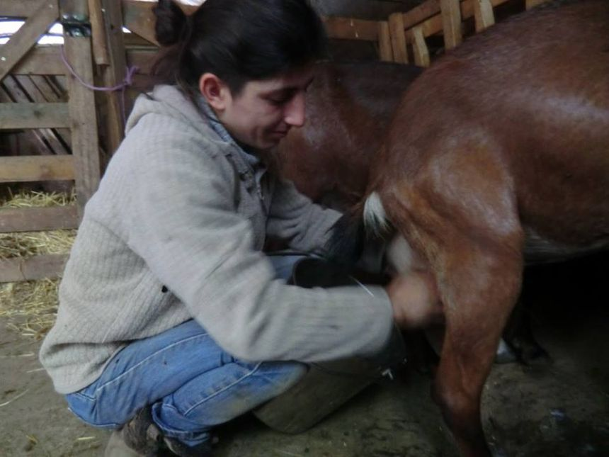Le lait des chèvres Anglo-Normandes pour faire des fromages lactiques
