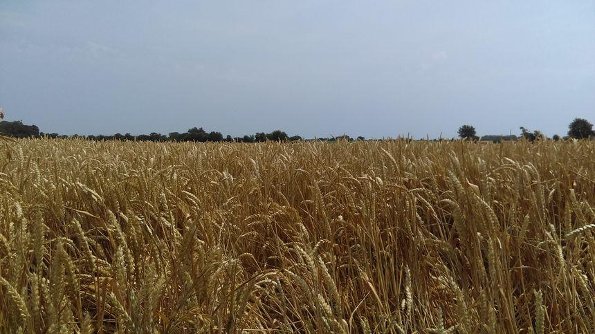 Champ de blé très sec à Issé tout près de Chateaubriant