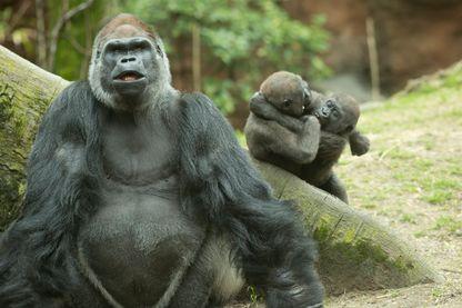 Gorilles au Zoo du Bronx