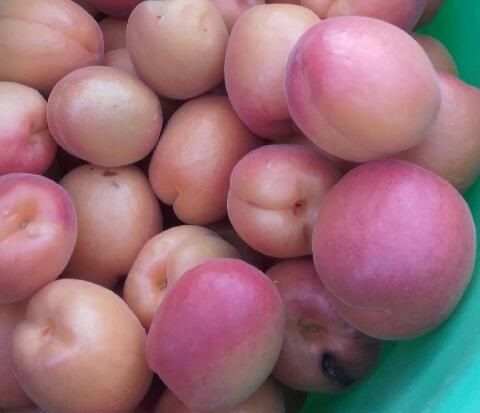 Les prix des abricots français sont en baisse de 20% par rapport à la moyenne des cinq dernières années.