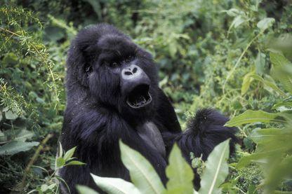 Gorille à dos argenté au Rwanda