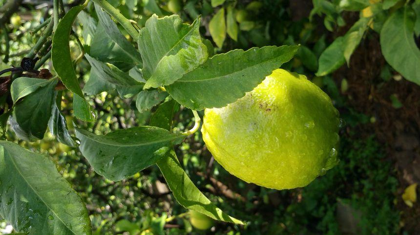 Le terroir de Menton donne des citrons reconnus par les chefs dans le monde entier.
