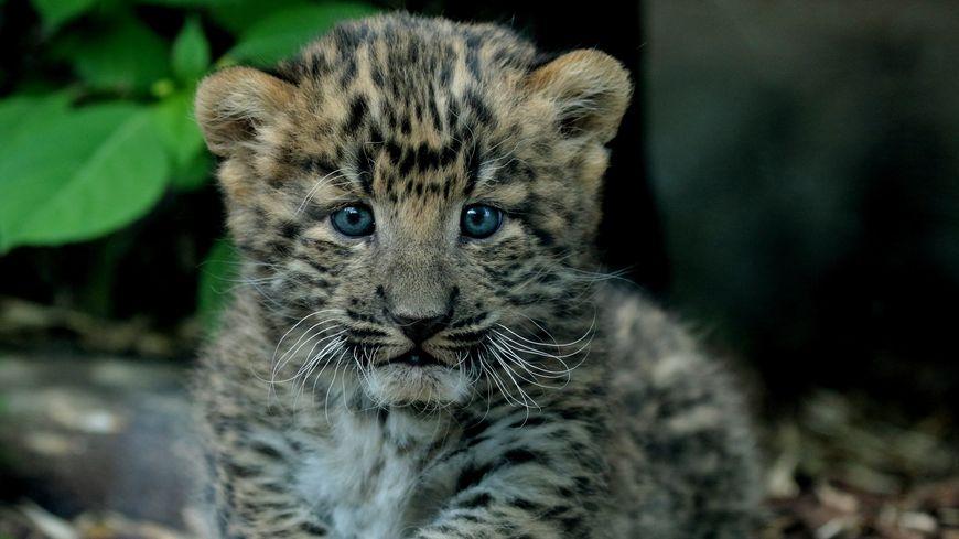 Photos Un Bebe Panthere De Chine Au Zoo Du Jardin Des Plantes A