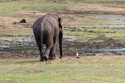 Un éléphant au Udawalawe National Park