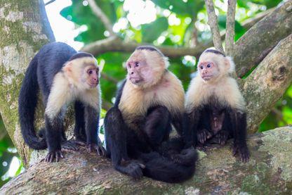 Les capucins en bande, comme en solo, sont particulièrement doués