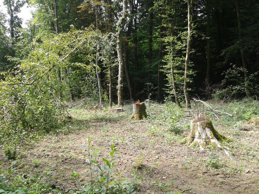 Certains propriétaires ont commencé à abattre des arbres dans la forêt de Kolbsheim, située sur le tracé du GCO.