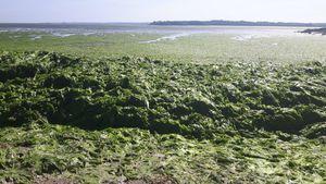 Les algues vertes hors de cause dans le décès d'un jeune ostréiculteur en baie de Morlaix