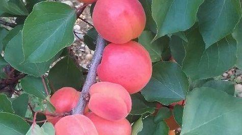 Les producteurs d'abricots en Drôme-Ardèche sont en grande difficulté suite à la chute du prix de leurs fruits.