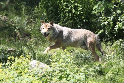 Loup en semi-liberté dans le parc des Angles, Pyrénées-Orientales - 2015