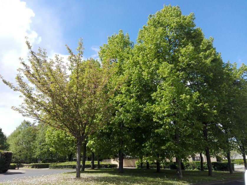Le cerisier du Japon planté pour Estelle
